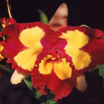 Rhyncholaeliocattleya Chinese Beauty 'Orchid Queen' AM/OSROC